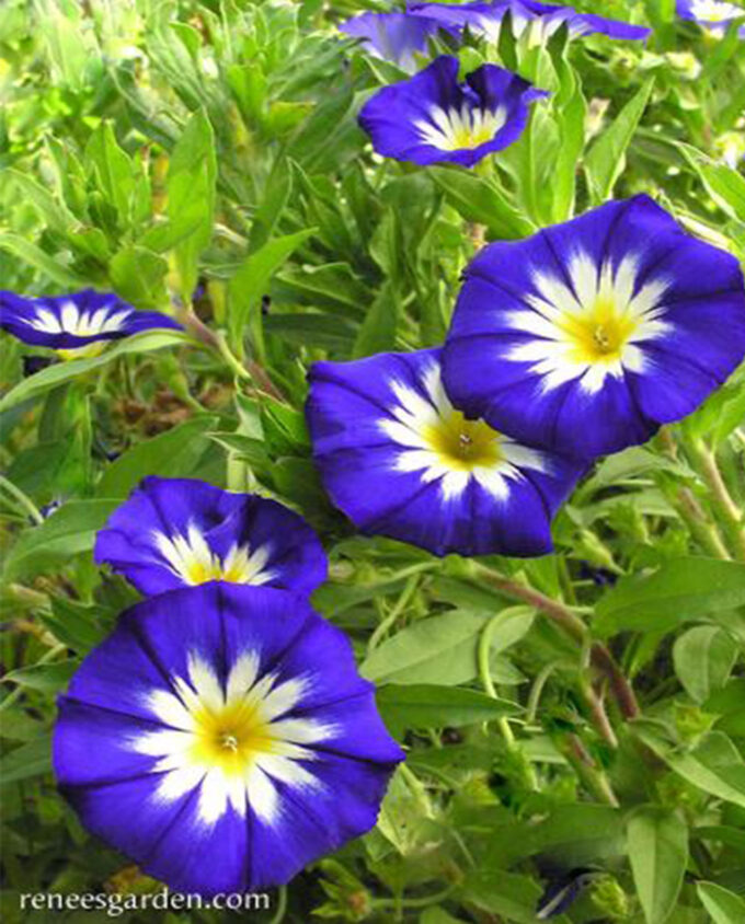 Morning Glory Blue Ensign