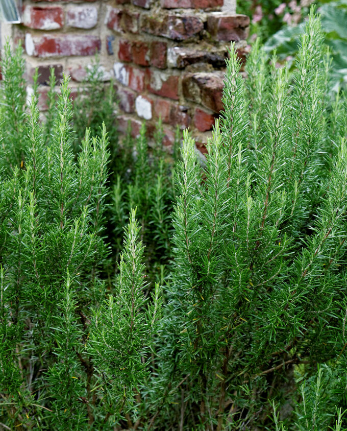 French Rosemary